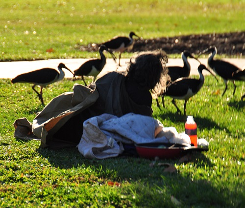 A man lies on makeshift bedding in a public park. There are several water birds passing by where the man is lying.